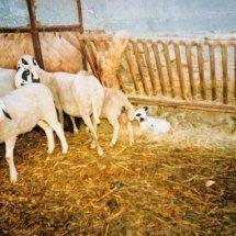 schafe - pecore