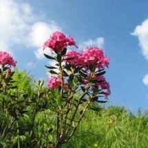 alpenrosen - fiori